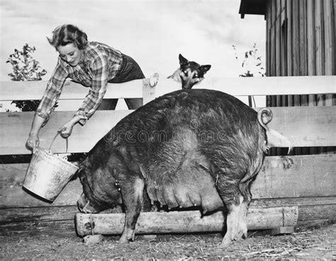 alimentazione maiale maiale d alimentazione della donna tutte le persone