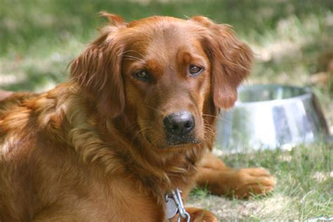 golden retriever puppy to adulthood golden retriever and stud service from cross creek kennel glenwood city