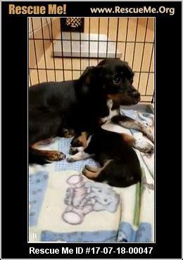 yorkie rescue alabama alabama yorkie rescue adoptions rescueme org