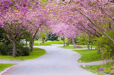 washington dc cherry blossoms visit montgomery