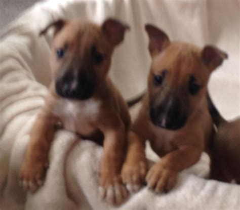 bull puppies for sale stunning bull terrier puppies for sale fordingbridge hshire pets4homes