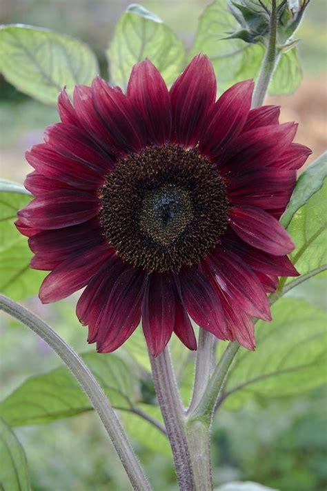 dark red sunflower black magic garden ideas