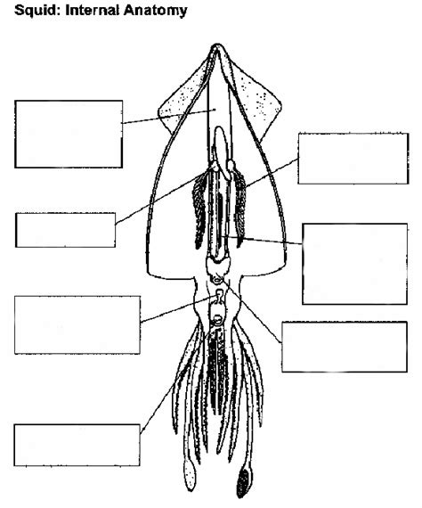 squid dissection worksheet squid anatomy unlabelled manandmollusc net