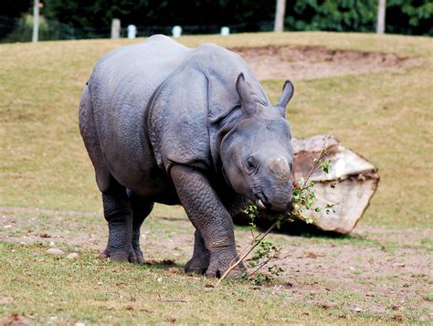 Indian Rhino Pictures to Pin on Pinterest - PinsDaddy