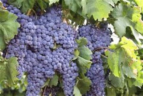 how to get grape vines to fruit home guides sf gate