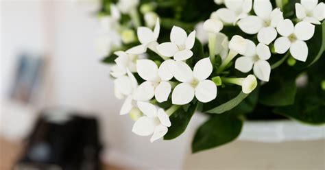 bouvardia  joy  plants