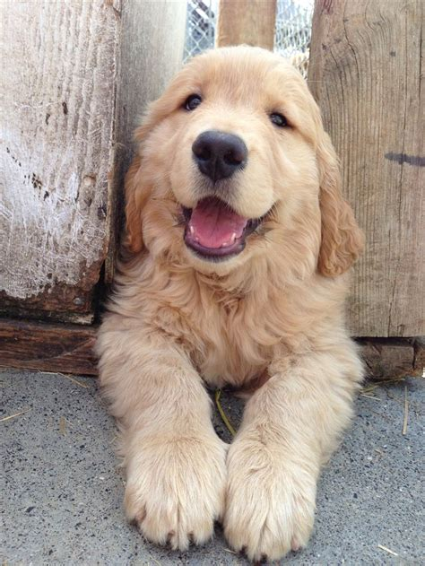 how do golden retrievers live best 25 golden retriever ideas on a puppy puppy care