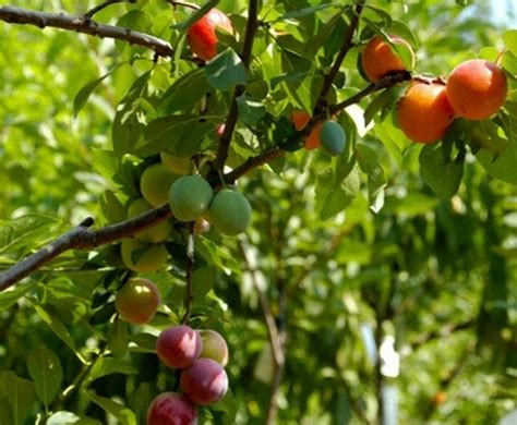 why are many fruit plants trees tree of 40 fruits