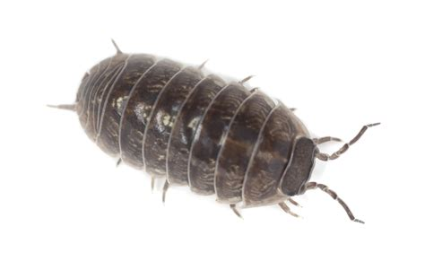 pill pugs image gallery sow bugs