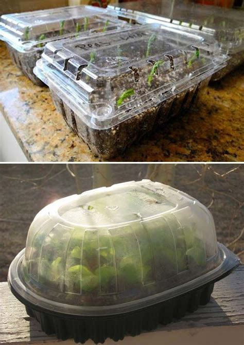 start seeds indoors  plastic strawberry containers