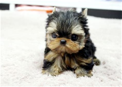 yorkies for sale in sioux falls sd pets sioux falls sd free classified ads