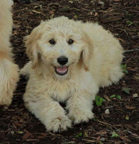 standard goldendoodle puppies mn die 25 besten standard goldendoodle ideen auf doodle hund golden doodles
