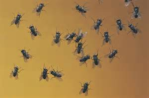 why do so many flies come into your house during the
