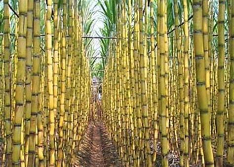 Como Viviste Esta Cana En Contra De La Leona Por Temas Politico | etanol un combustible pol 233 mico 191 ma 237 z o ca 241 a de az 250 car