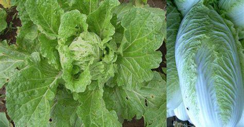 Pepaya California Hibrida budidaya petsai tanam sayuran