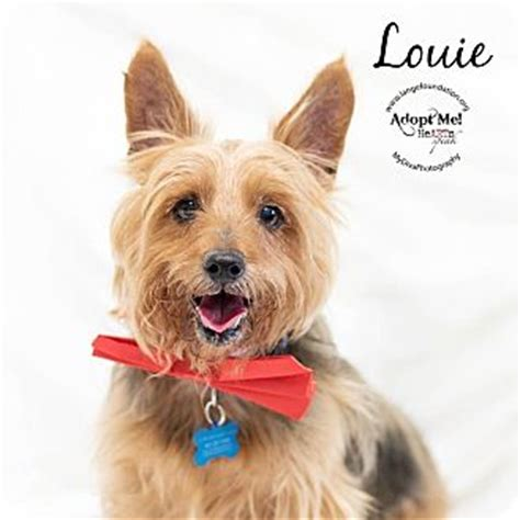 california yorkie rescue country ca yorkie terrier mix meet louie a for adoption