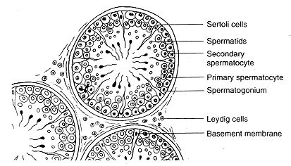Cross Section Of A Seminiferous Tubule Isap 100 2014