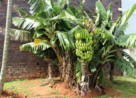 when do banana trees fruit banana tree pictures