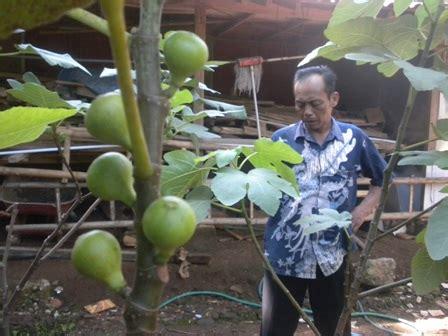Jual Bibit Buah Tin Wonogiri peluang usaha raup untung menggiurkan warga wonogiri