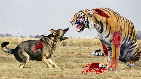real fights tiger vs pictures to pin on pinsdaddy