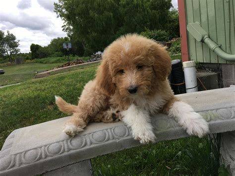 mini goldendoodles rochester ny puppy for sale goldendoodles for sale puppies ny adopt
