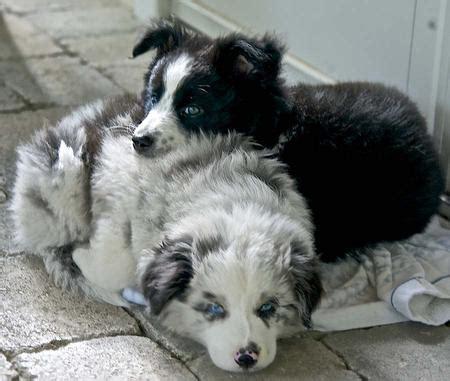 border collie aussie mix puppies scout the border collie mix puppies daily puppy