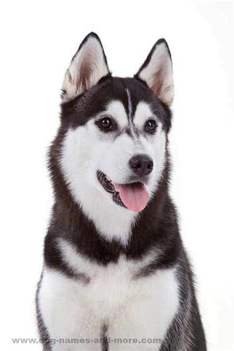 husky names siberian husky names for unique huskies