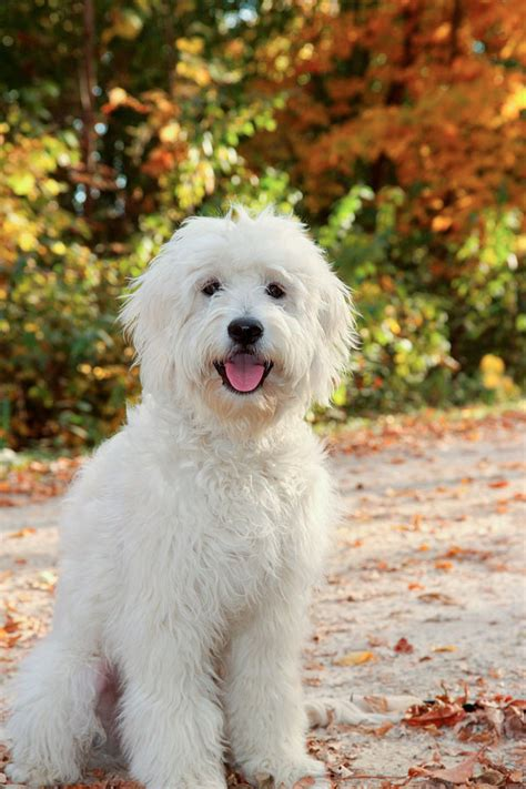 mini goldendoodle mn rosewood kennel breeder of top quality goldendoodle puppies