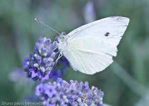 Small White Small White Butterfly Bruno Paolo Benedetti