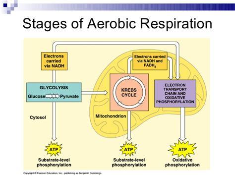 aerobic cellular respiration diagram cellular respiration