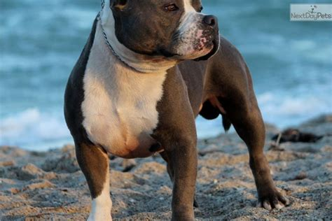 american pocket bully puppies for sale puppies for sale from american pocket bully member since january 2014