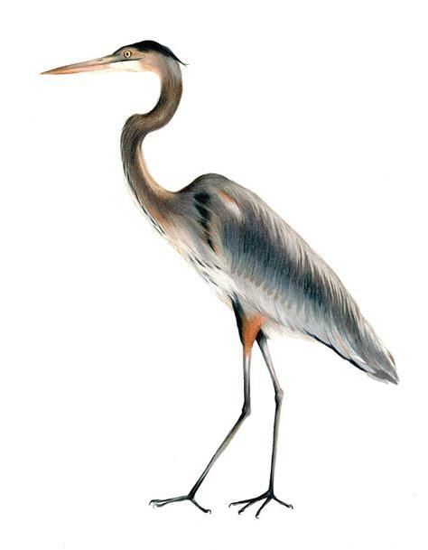 Great Blue Heron Drawing great blue heron flying drawing