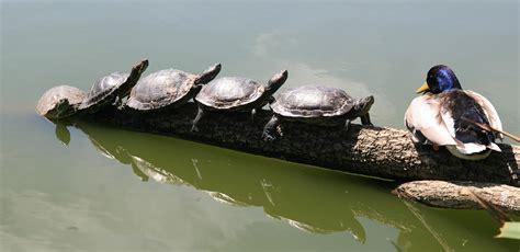 Heat L For Aquatic Turtles by Eared Slider Turtleholic