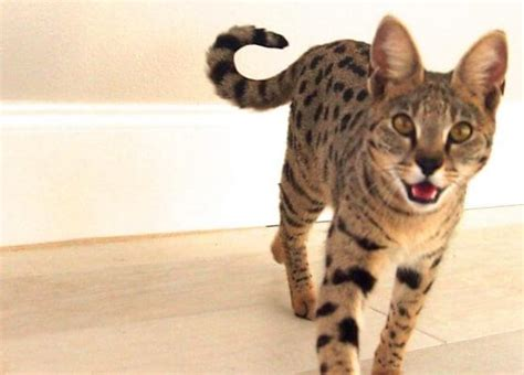cats that look like jaguars 19 fabulous cats that look like tigers cheetah