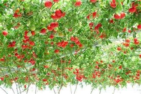 Tanaman Buah Nanas Merah Kondisi Berbuah Stok Terbatas 266 pohon tomat new