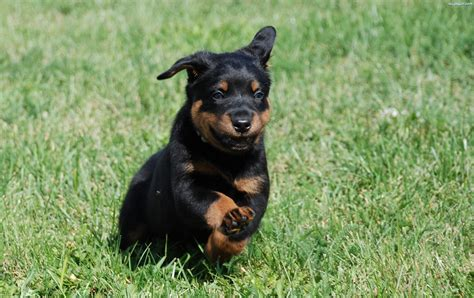beauceron puppies tired beauceron puppy on grass wallpapers and images wallpapers pictures photos
