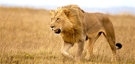 imagenes de leones cazando related keywords suggestions for leones cazando su presa