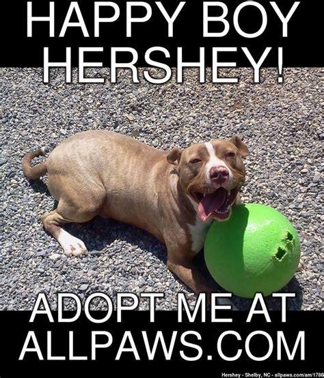 Pitbull Memes - 119 best pit bull memes images on pinterest pit bull