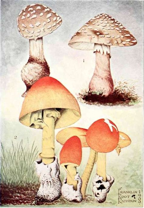 student s book of mushrooms of america edible and poisonous classic reprint books amanita part 7