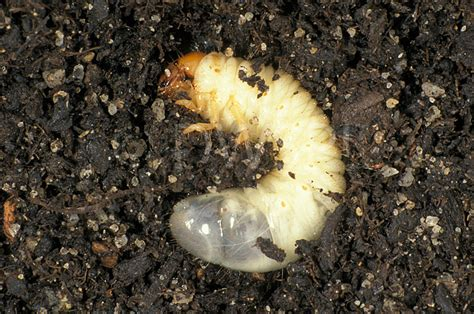 White Curl Grub Of The African Black Beetle Heteronychus Curl Grubs In Vegetable Garden