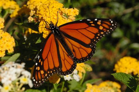 of a butterfly monarch butterfly pictures