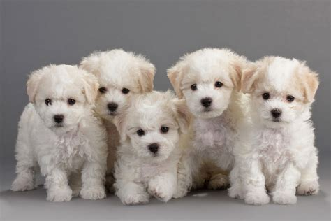 bichon frise puppies bichon frise breeders profiles and pictures breeders profiles and pictures