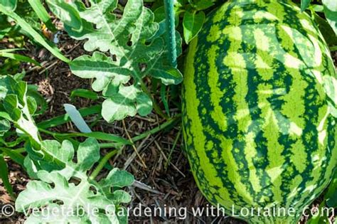 growing watermelons  symbol  summer