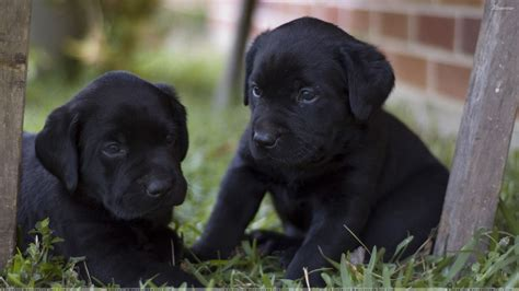 black lab puppies two black labrador puppies wallpaper