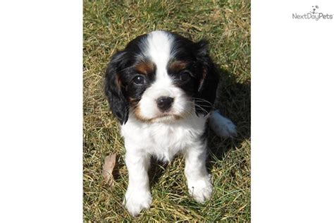st charles cavalier puppy cavalier king charles spaniel puppy for sale near st cloud minnesota 9cc7e14a 2f51