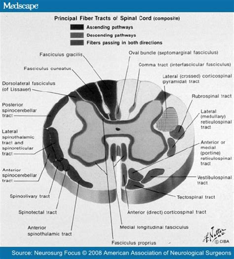 cervical spinal cord cross section topic spine archives human anatomy educations
