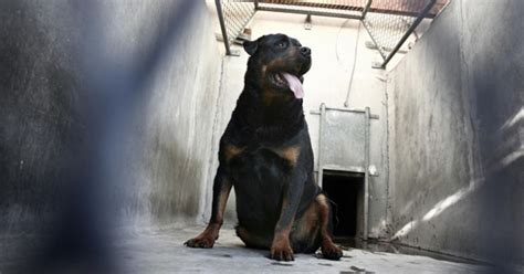 rottweiler kills rottweiler kills owner just hours after being adopted in tennessee cbs news