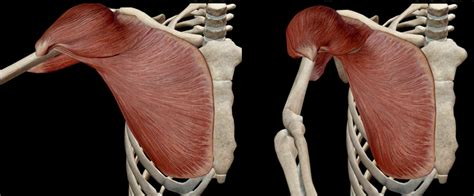 pettorale interno pettorale interno esiste e quali esercizi project