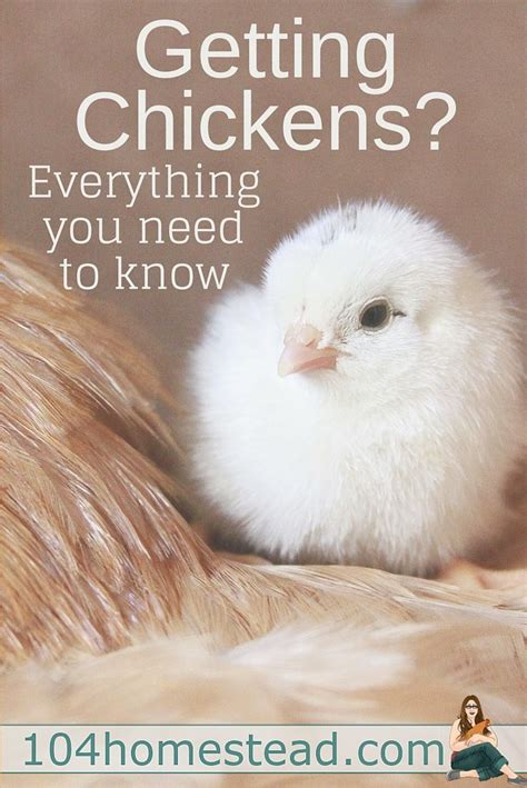 how to care for chickens in your backyard 3224 best chickens images on backyard chickens