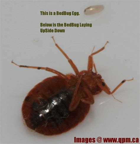 bed bug size comparison what do bed bugs look like see it in pictures pest